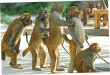 Как обезьяны