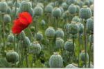 Thumbnail for the post titled: О выращивании вРоссии наркосодержащих растений