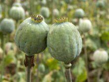 Закон о выращивании конопли и опийного мака